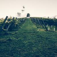 251 · Vineyard
